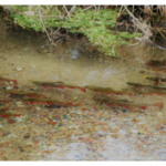 Trout swim in the Isherwood Creek prior to removal of their habitat by the Portage County Drainage Board. (Photo By Kerry Brimmer, Justin and Lynn, Isherwood Farm, Summer 2017)