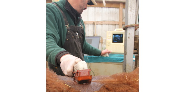 Kevin Gould, MSU Extension Beef Educator, uses an ultrasound to measure ribeye area during the bull evaluation. (Courtesy of Michigan Cattlemen's Association)