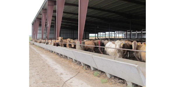 Considerations for cattle operations