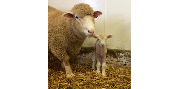 New and experienced shepherds will have an opportunity to learn more about lambing at the Feb. 24 lambing clinic. (NDSU photo)