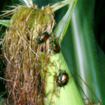 Figure 1. Japanese beetles on field corn. (Photo: Ric Bessin, UK)