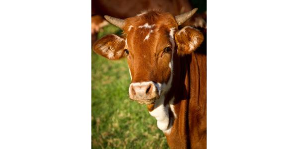 Bovine TB investigation IDs Kalamazoo Co. herd