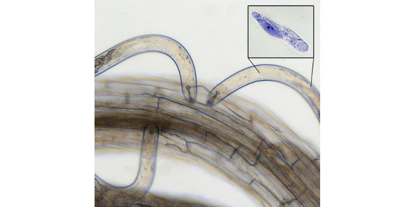 Latest science on damaging nematodes