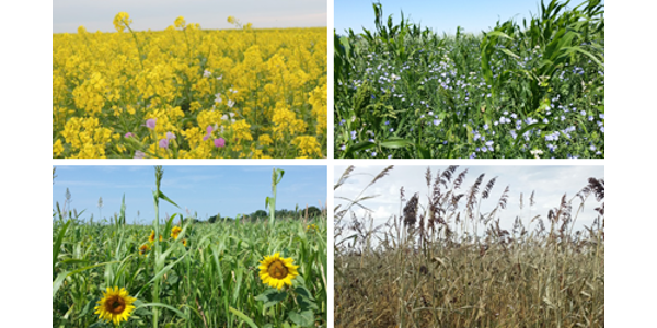 South Dakota Game, Fish & Park's Brood Mix is a diverse blend designed to provide flowering pollinator habitat through the growing season to provide valuable foraging opportunities for wildlife. (Courtesy of SDGFP)