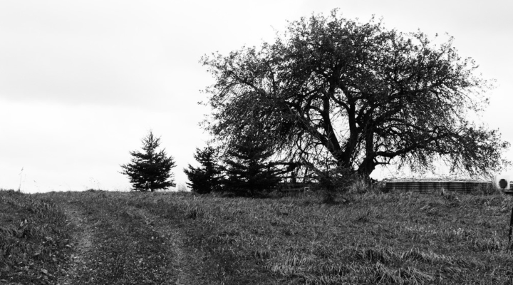 Group wants to renew old apple trees