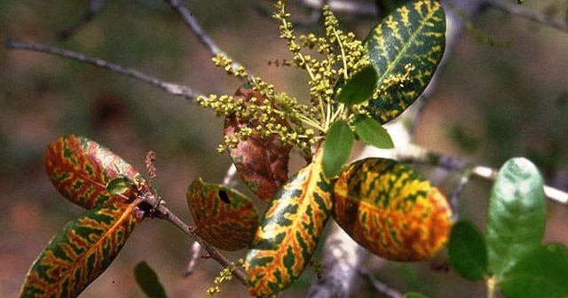 Spring Is Prime Time For Spread Of Oak Wilt Disease
