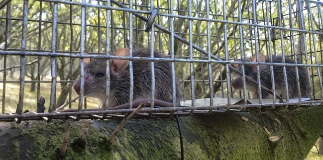 Roof rats unnerve farm workers, damage crops | Morning Ag Clips