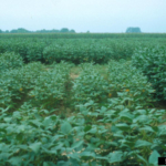 Soybean variety trial showing on plot where the Soybean cyst nematode, Heterodera glycines, has significantly stunted the plants. (Paul Bachi, University of Kentucky Research and Education Center, Bugwood.org)