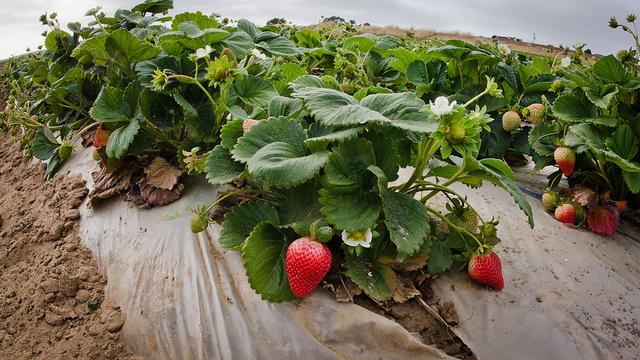 Urban economy tied to strawberry farming
