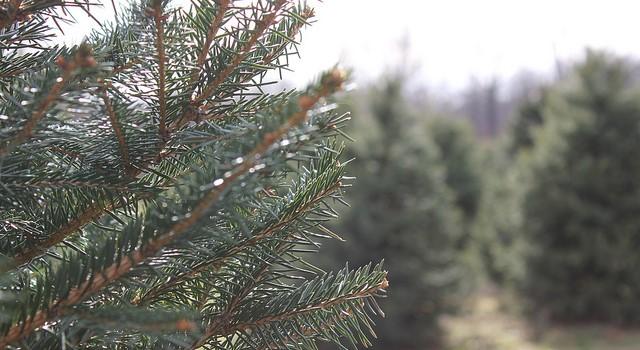 Christmas tree farmers plan summer meeting