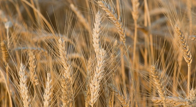 Wheat farmers take to Capitol Hill