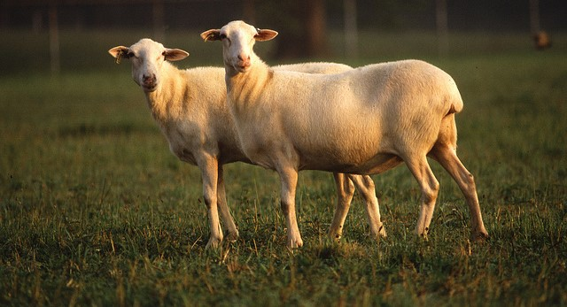 Sheep Scanning Certification School April 10-11