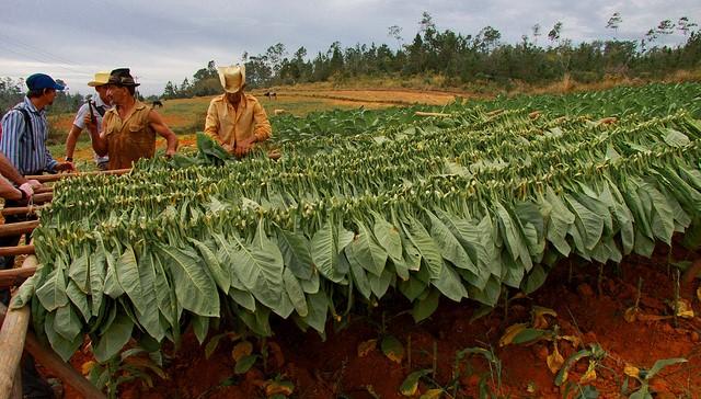 A glimpse into Cuba's tobacco industry