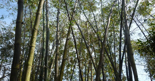 Citrus grower looks to try bamboo to offset losses | Morning