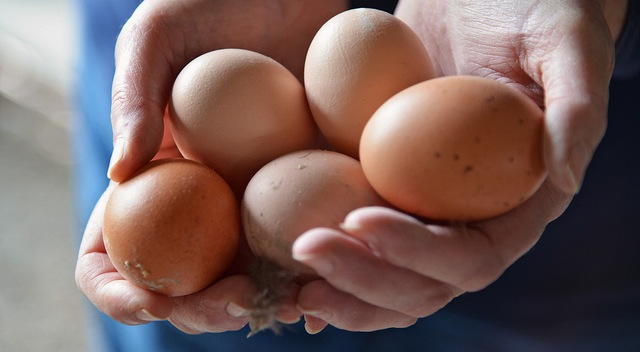 Get your backyard chicken eggs tested for free