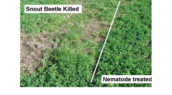 Nematodes help protect alfalfa, corn crops
