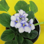 Although native to West Africa, the African Violet is the most popular houseplant in America. (Courtesy of ISU Extension)