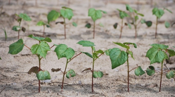 Take guesswork out of timing for cotton planting