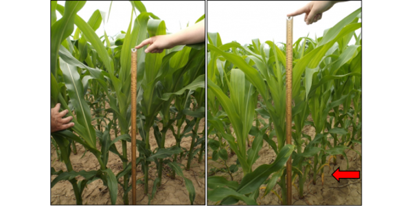 In both pictures, corn at V10 received in-furrow starter N (7 lbs. N A-1). Left: Corn received V4 sidedress (total N=140 lbs. A-1). Right: Corn awaiting V10 sidedress and displays signs of N stress (i.e., lower canopy firing) due to in-furrow strategy. (Courtesy of MSU Extension)
