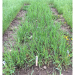 Mixture #4 in the spring of 2017. (Photo by Monica Jean, MSU Extension)