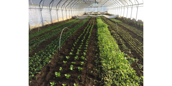 Northern Michigan hoop house in winter, including both winter harvested and overwintered crops. (Photo by Collin Thompson, MSU Extension)
