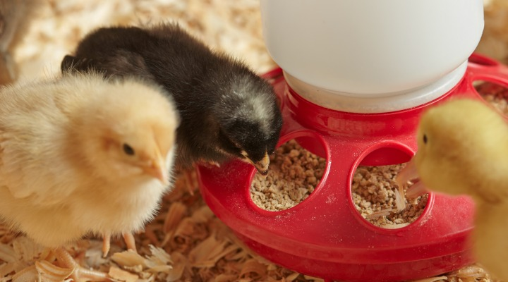 Strong chicks = happy hens: Early nutrition is key