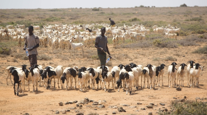 Massive livestock losses in Somalia
