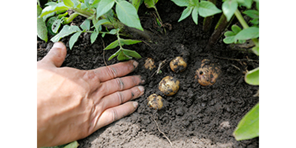 Explore managing disease, insect pests and weeds