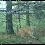 Researchers found that while predators like mountain lions are generally fearful of and avoid humans, hunger can dampen that fear. (Photo: Colorado Parks and Wildlife)