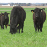 Grazing cattle on cropland can be a win-win situation for both crop production and livestock feeding. (Courtesy of University of Nebraska-Lincoln)