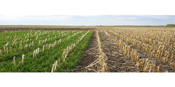 Despite farmers' positive perceptions about cover crops and the availability of cost-share programs to incentivize their use, an Iowa State University study shows the return on investment may be the biggest hurdle to overcome for widespread adoption of the practice. (Courtesy of ISU Extension and Outreach)