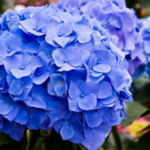 Unlike other flowers, flowers of hydrangeas can change color from year to year with a little help. (Shared under a Creative Commons license (CC BY 2.0) by Flickr user Liz West)