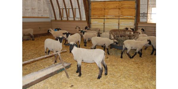 Sheep ultrasound certification school