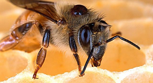 ARS scientist seeks honey bee disease controls