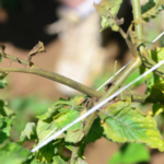 Figure 2. Bronzing of stems and dried out buds are signs of tomato russet mite activity. (Photo: Ric Bessin, UK)