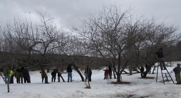 Renovating Old Apple Trees Workshop