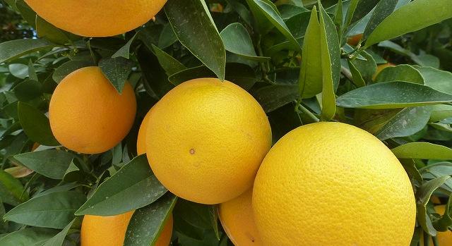 Breakthrough on citrus disease unlikely