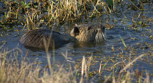 Invasive rodent spotted in 5th Calif. county
