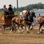 Iona, MN native, Kennedy Deuschle's dedication to draft horses, her many years of assisting the Dakota Thunder Shire six horse hitch, along with her talent to drive 'Grandpa's' 4-up of Birens Family Belgian draft horses at the Britt, IA show (assisted by Uncle Chris Biren in the picture) has earned her a $500 grant from the Dakota Royal Charity Draft Horse Show Youth Fund. (Courtesy of Dakota Royal Charity Draft Horse Show)