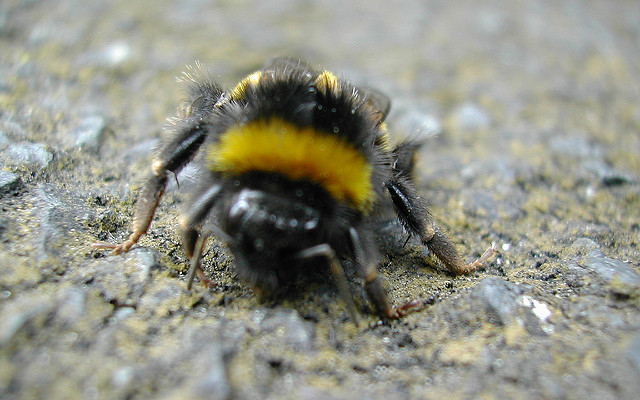 Image result for ground bee