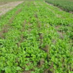 Kansas State University will host a cover crop field day at HB Ranch near Hays on May 25, 2018. (Courtesy of K-State Research and Extension)