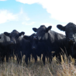 K-State's Southeast Area Research Center will host its 2018 Beef Cattle and Forage Crops Field Day on May 3 at 25092 Ness Road in Parsons, Kansas. (Courtesy of K-State Research and Extension)
