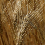 K-State will host its 2018 In-Depth Wheat Diagnostic School May 9-10 in Garden City, Kansas. (Courtesy of K-State Research and Extension)