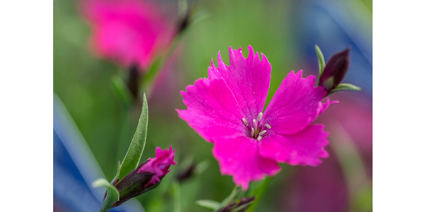 Perennial trials reveal top six performers morning ag clips dianthus kahori valleybrook gardens via flickr mightylinksfo