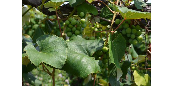 Grapes growing on a vine. (Photo credit: Maddie Curley)