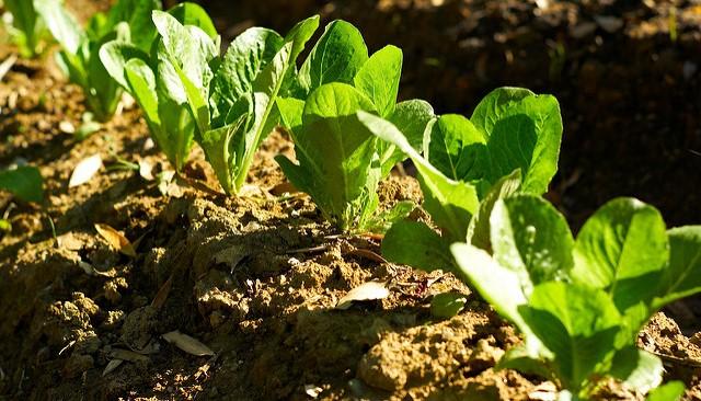 Farmers Share Information On Purchasing Lettuce Morning Ag Clips