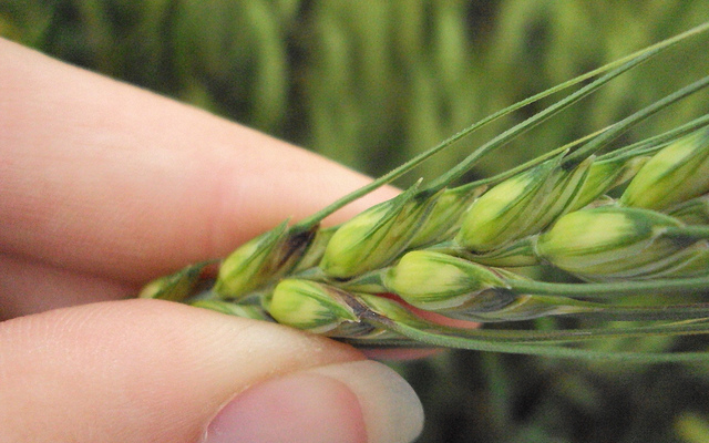 Wheat scab update-elevated risk in Coastal NC