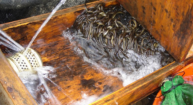 Baby eel fishermen to hit quota after short years