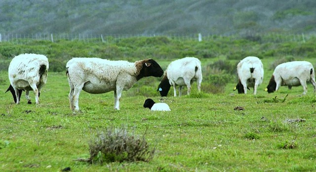Information sought, reward offered for stolen sheep