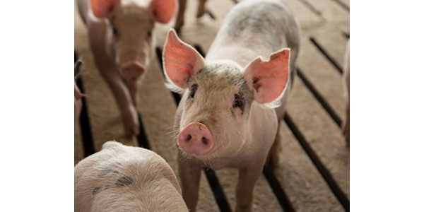 Iowa State University Extension and Outreach swine veterinarian Chris Rademacher is coordinating the session that's set for Wednesday, June 6, at the Iowa State Fair Grounds. (Courtesy of ISU Extension and Outreach)